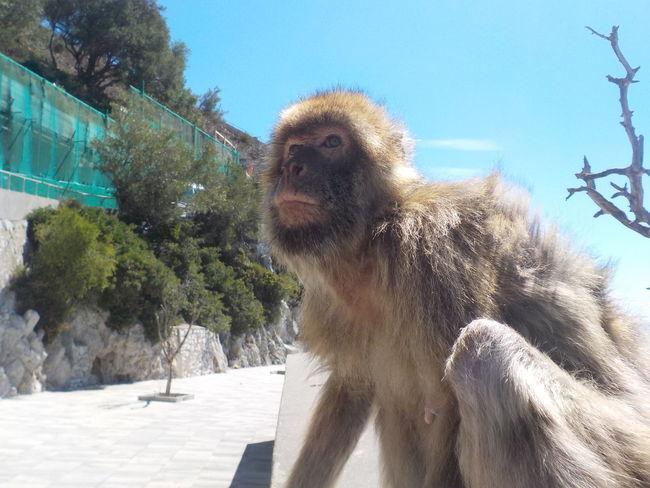 Animal Themes Focus On Foreground Gibraltar Monkey Monkey Business Monkeying Around Monkeys One Animal Maximum Closeness