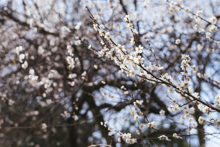 The Cherry Blossoms Almond Tree Apple Blossom Apple Tree Beauty In Nature Blossom Botany Branch Cherry Blossom Cherry Tree Close-up Day Flower Fragility Freshness Growth Low Angle View Nature No People Orchard Outdoors Plum Blossom Springtime Tree Twig White Color