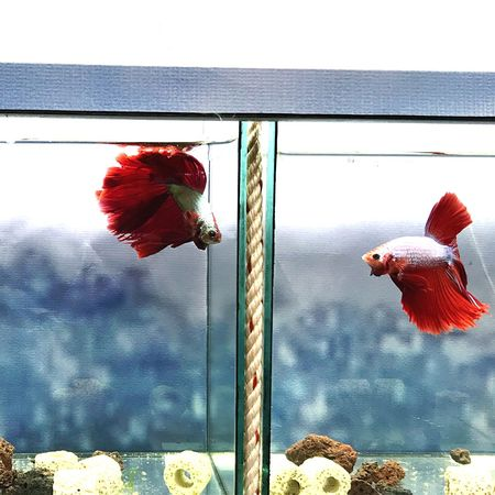 Fighting fishes Pet Fish Betta Fish Fighting Fish EyeEm Selects Red Animal Themes