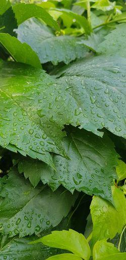 yaprak Water Leaf Backgrounds Close-up Green Color Plant