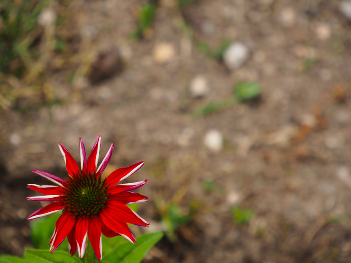 One Flower Red
