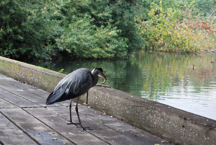 High angle view of gray heron perching on wood by lake