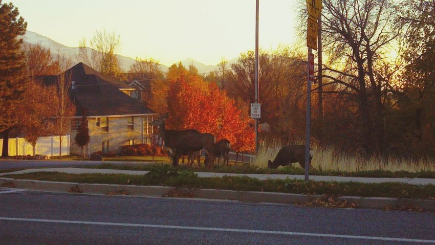 We spotted a deer family lunching near the road. The buck was a little camera shy... Utah Springville Wildlife Autumn