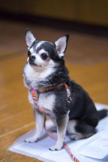 チワワ Chihuahua Chihuahua Pets Sitting Dog Portrait Alertness Close-up Chihuahua - Dog
