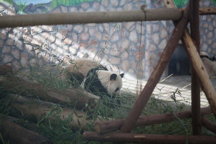 Panda against stone wall