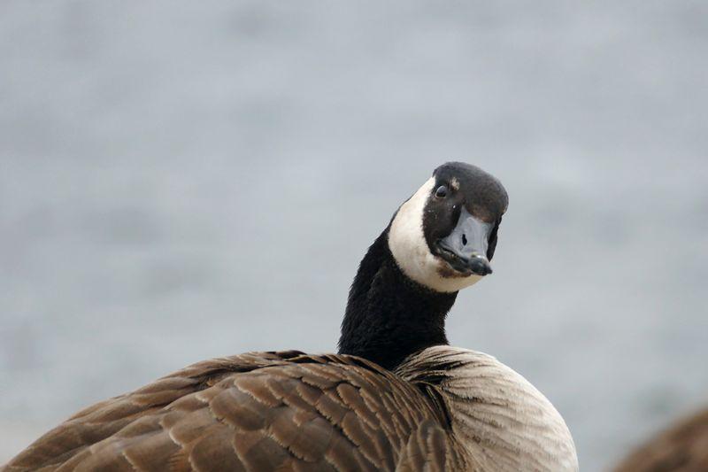 Portrait of canada goose