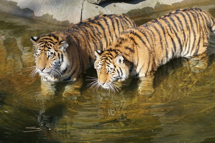 High angle view of tigers standing in water at tierpark berlin zoo