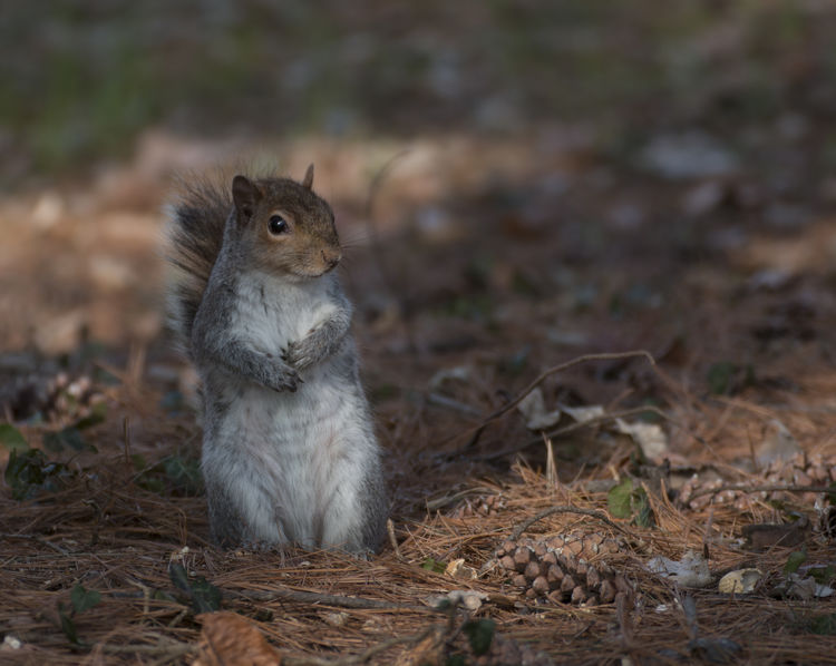 squirrel Squirrel Wildlife & Nature Grey Squirrel Mammal Mammals Sciurus Sciurus Carolinensis Squirrel Closeup Wildlife