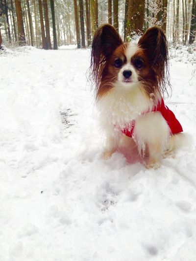 Pets Snow Outdoors Winter One Animal Nature Dog Lover Lucy Papillon Dog Enjoying Life