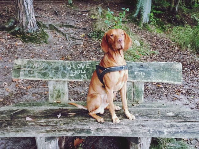 Hungarian Vizsla Vizslalove Vizsla Life What I Like Best Friend Dogs Of EyeEm Dog Of The Day Vizslaoftheday Vizsla
