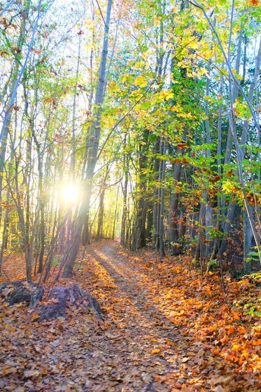 tree, autumn, plant, forest, tranquility, land, beauty in nature, tranquil scene, nature, leaf, plant part, the way forward, direction, change, sunlight, non-urban scene, day, footpath, growth, scenics - nature, no people, woodland, outdoors, bright, leaves