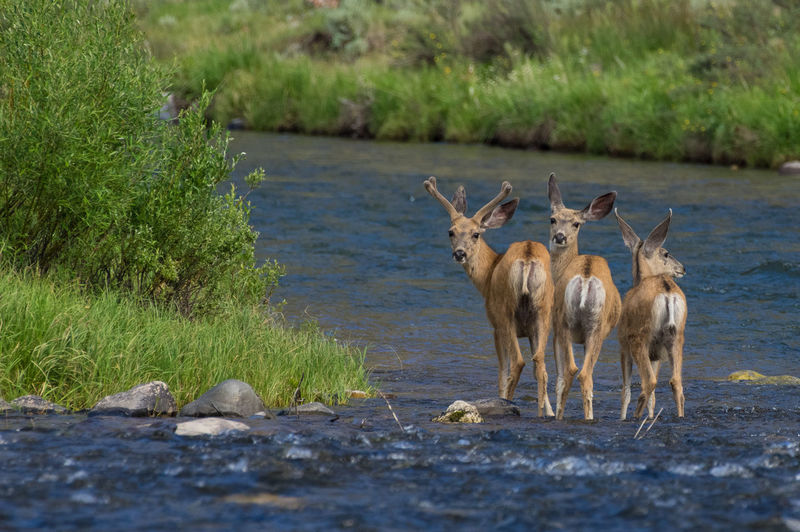 Deer Gallatin River Animal Animal Themes Animal Wildlife Animals In The Wild Day Grass Green Color Group Of Animals Herbivorous Lake Land Mammal Nature No People Outdoors Plant Selective Focus Vertebrate Water