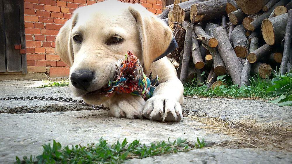 Dog Dogs Goldenretriever Dog Love Dogslife Dog Life Dogstagram Dogs Of EyeEm Dogoftheday Doggy Dog Lover Doggy Love Puppy Puppy Love Puppies Dog❤ Doglover Puppy Face Puppy❤ Puppy Love ❤ Dog Portrait Dogplaying Dogplaytime