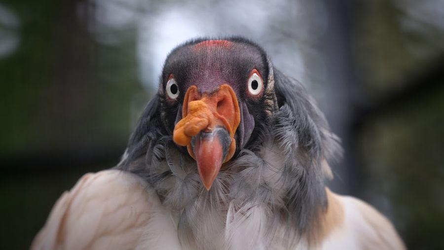 Königsgeier im direkten Bilckkontakt 👀💕 King Vulture Königsgeier Selective Focus Zoo Berlin Bird Vulture Portrait Bird Of Prey Black Background Eating Multi Colored Beak Looking At Camera Red Tropical Bird Animal Eye HEAD Yellow Eyes Wildlife Reserve