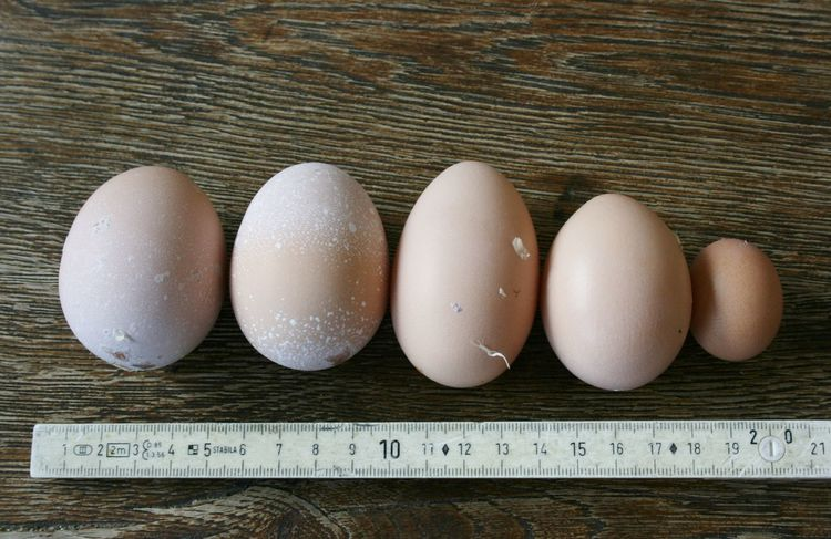 Chicken Eier Catch Of The Day Egg Eggs Ready-to-eat Still Life Wood - Material