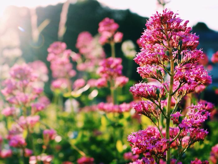 Pied piper Foxgloves Morning Sun Sunlight Flowers In The Foreground Loveliness Bright Pink Flower Beauty In Nature