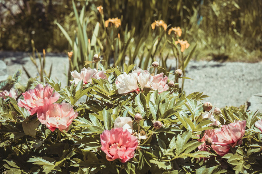 Beauty In Nature Flower Bed Flower Buds Flower Garden Flowering Plants Flowers Gravel Path Nature Nature Pink Flowers