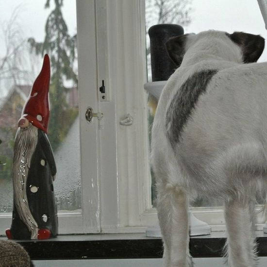 Looking for Santa :) Tolate ! Jackie jacky doglove dog hund kärlek halmstad halland sverige sweden vinter winter jul december jackrussel