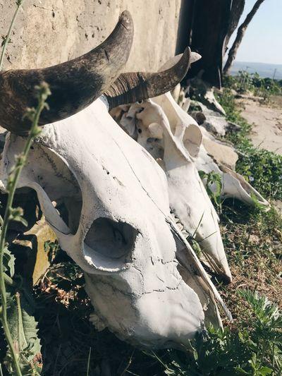 Skull Nature No