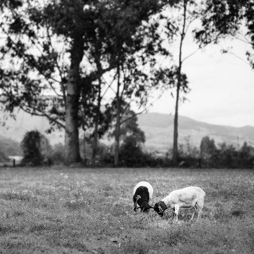 Farm Feeding Animals Animal Themes Day Domestic Animals Field Grass Growth Landscape Little Mammal Nature No People One Animal Outdoors Pets Pichincha Sheeps Sky Tree