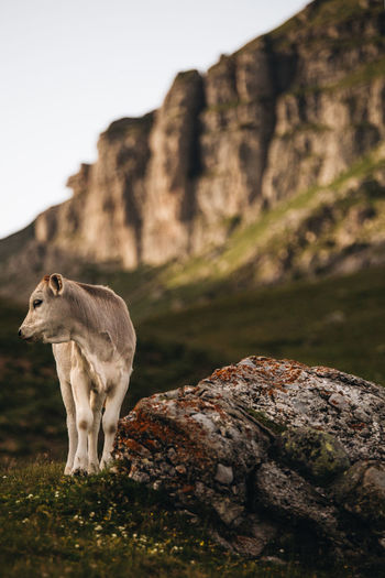 Low angle view of calf on field against mountains