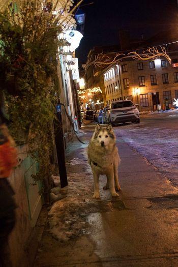 Portrait of dog in illuminated city