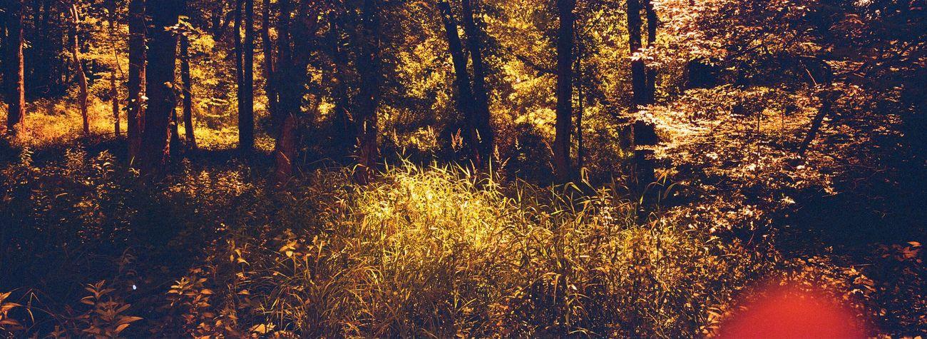 Forest Tree WoodLand Kono Rotwild Film Koduckgirl Film Hasselblad XPan