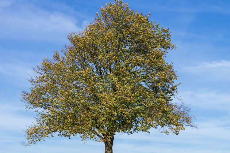 Tree in autumn Tree Plant Sky Cloud - Sky Growth Autumn Nature No People Blue Scenics - Nature Green Color
