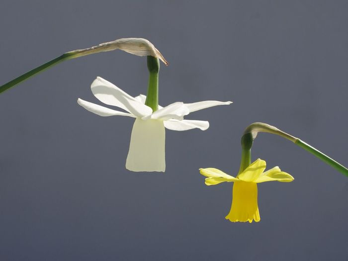 Close-Up Of Yellow And White Daffodils Against Gray Background