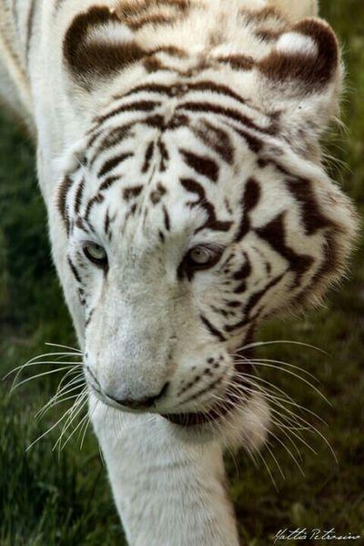 Animal_collection Animal Photography Animal White Tiger I Love White Tiger Tigre Bianca Animali Beautiful Animals