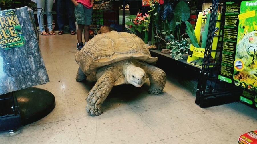 Tourtoise BigBiggerBiggest Slowmotion Dessert Turtles Pets Pet Photography  Reptiles MyDude Taking Photos