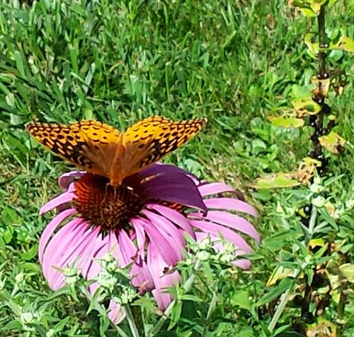 Purple Coneflower Butterfly From The Deck At Our Old Place In Connecticut Summer Time  43 Golden Moments