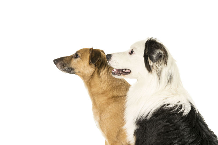 Portrait of a little brown mixed breed dog and a black and white australian shepherd sitting on a white cube sideways isolated in a white background looking aside Canine Dog One Animal Animal Mammal Animal Themes Domestic Domestic Animals Pets White Background Vertebrate Studio Shot Indoors  Looking Side View Looking Away Cut Out Animal Body Part Close-up Animal Head  Profile View Togetherness Friendship Australian Shepherd  Mixed Breed Dog
