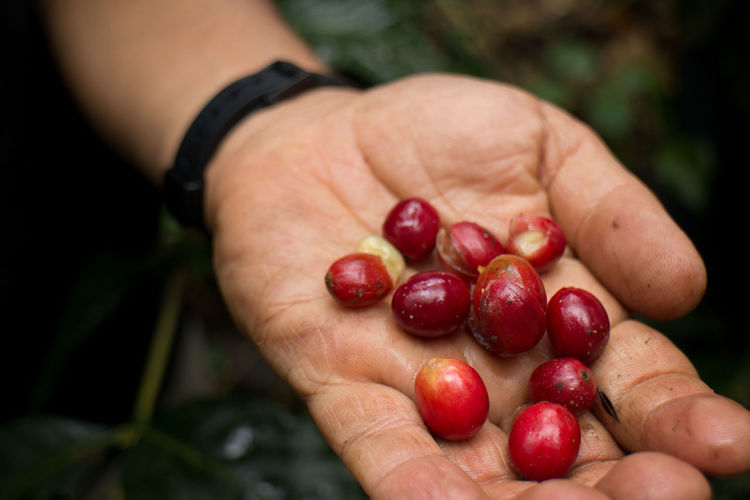 Cropped hand holding of raw coffee beans