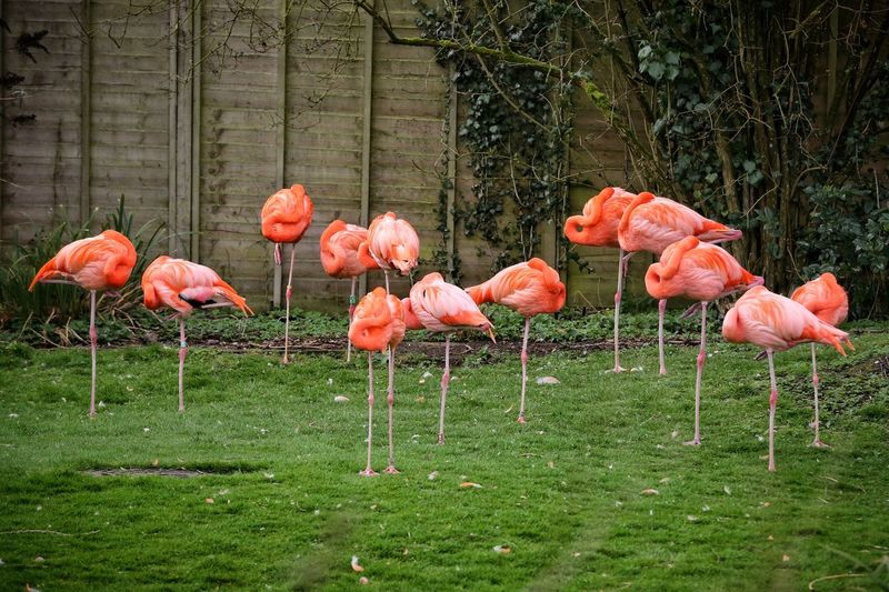 Flamingos Standing On Grass