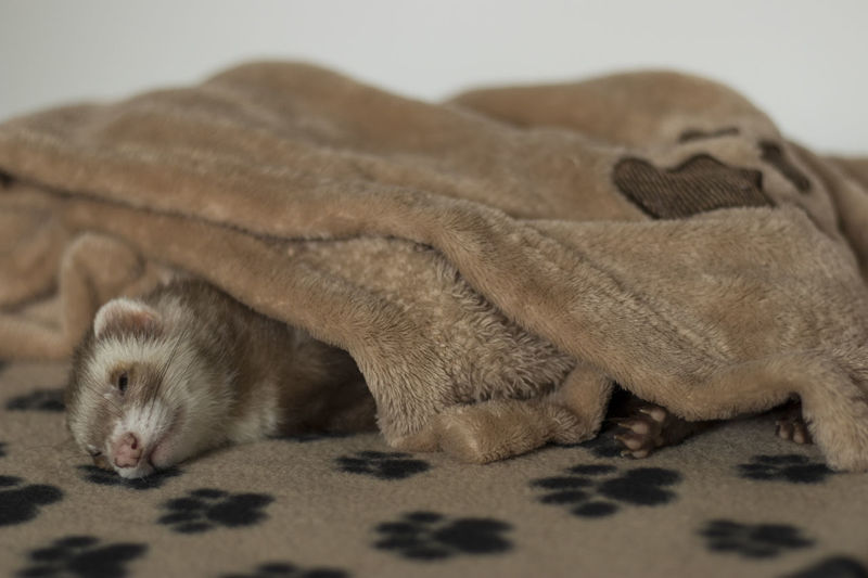 Ferret Relaxing Sleeping Animal Animal Themes Carnivore Covered Domestic Animals Frettchen Mammal Pet Relaxation Resting Sleeping Sleeping Pet