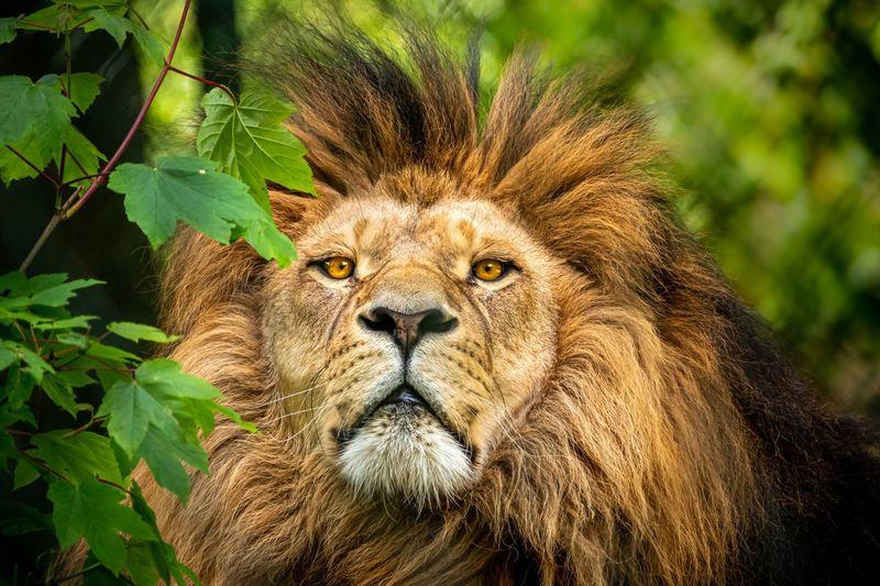 Close-up portrait of big cat
