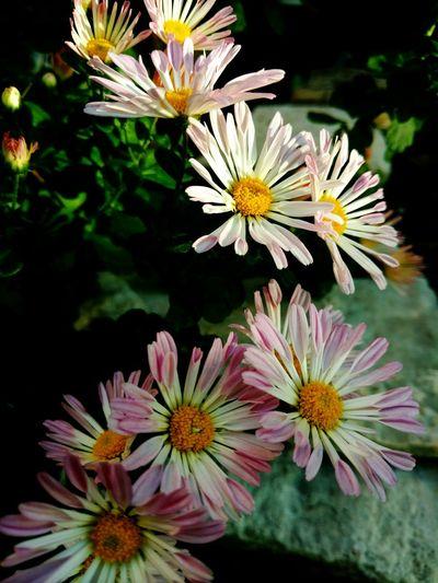 Segment Of Nice Daisies Autumnblooms Easysubjects Eyeemflowers Pinkaccents Prettygirls
