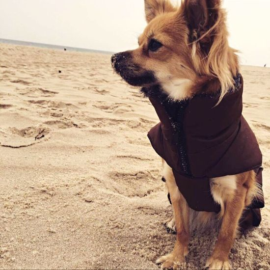 Dog Domestic Animals Pets One Animal Mammal Sand Animal Themes Beach Nature Day Outdoors Sea No People Water Close-up Sky Chihuahua Dogslife Dog❤ Beach Life Sandy Beach Chihuahuaoftheday Mydog♡