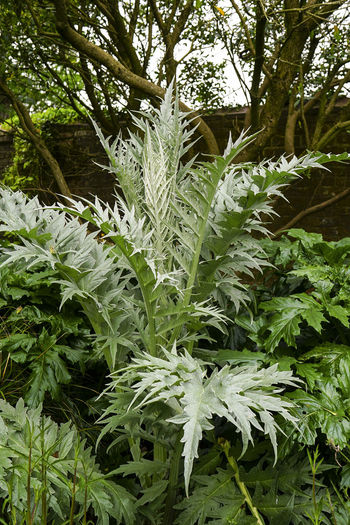 Cardoon plant Cardoon Day Growth Leaves Nature No People Outdoors Plant