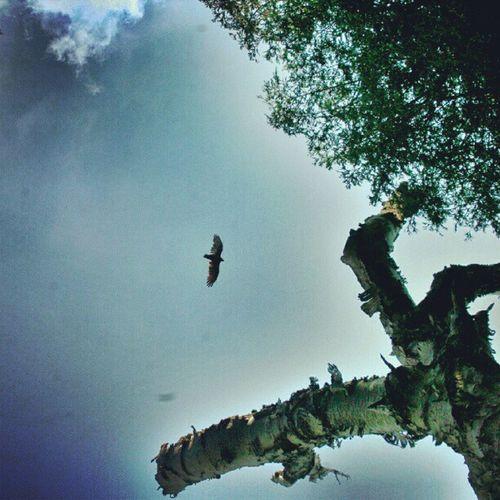 #eagle #flight #blue #sky #tree #leafs #nature #beautiful Eagle Sky Leafs Tree Blue Flight Nature Beautiful