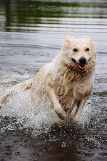 Nature Beauty In Nature Animal Wildlife Animals In The Wild Animal Themes Day Outdoors Dog Photography Focus On Foreground Armerican Canadian Sheep Dog ♥️ Dog❤ Lilli ❤ Water Pets Dog Motion Splashing Droplet Jumping Splashing Animal Tongue Sticking Out Tongue Animal Mouth Animal Nose Protruding