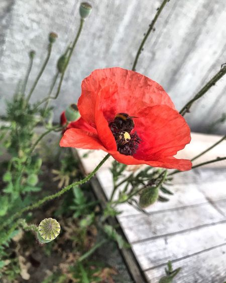 Flower Plant Flowering Plant Red Fragility Vulnerability  Beauty In Nature Nature No People Flower Head Close-up Freshness Petal Growth High Angle View Inflorescence Pollen Poppy Day Focus On Foreground