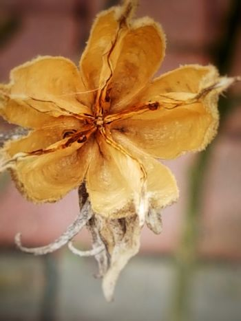 Hibiskus Seed Capsule Autumn Colors Outdoor Fragility No People Nature Beauty In Nature Close-up View From Above Brown Color