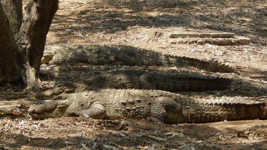 Side view of crocodiles on ground