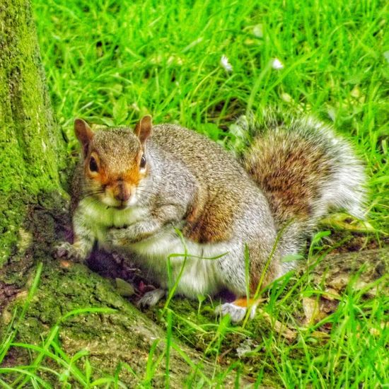 Taken at a park near where I live and these guys are quite well fed Hdr_captures Creative Light And Shadow Color Photography Close Up Photography Malephotographerofthemonth Wildlife And Nature Wildlife Photography Nature On Your Doorstep Nature Photography Close-up Fujifilm Squirrel Squirrels Squirrel Closeup Squirrels By Tony Bayliss Squirrel On The Ground Nature And Wildlife By Tony Bayliss