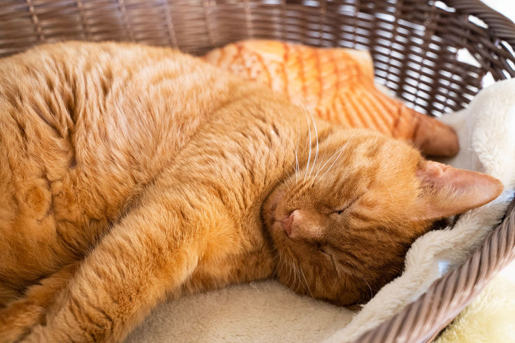 Mammal Animal Themes Animal Domestic Animals Cat Relaxation Domestic Domestic Cat Feline Pets Sleeping One Animal Eyes Closed  Basket Indoors  No People Close-up Resting Furniture Brown Ginger Cat Softness Cozy