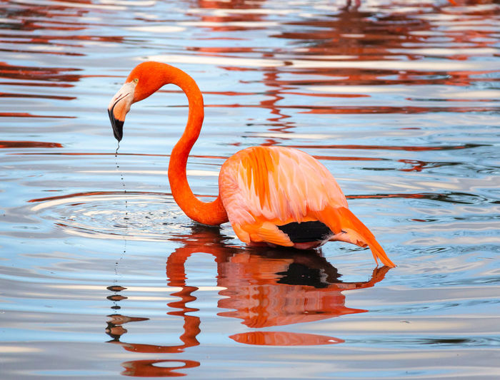 Bird Water Animal Reflection Flamingo One Animal Lake No People Orange Color Rippled Outdoors Chilean Flamingo Red Color