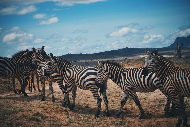 Group of zebras in kenya