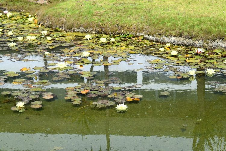 Water Lake Reflection Plant Flower Day Nature No People Beauty In Nature Tranquility Leaf Flowering Plant Lotus Water Lily Loto Lotus Lotus Flower Lotus Leaf Lotus Pond Lotoflower Outdoors High Angle View Growth Plant Nature Nature_collection
